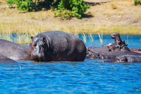 Hippos resting in the river