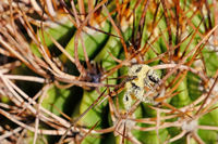 A bee, completely covered with yellow pollen, sitting on the thorns of a cactus, Argentina