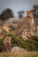 Cheetah sitting on grassy mound with cub