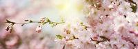 blüten frühling sonne banner highkey