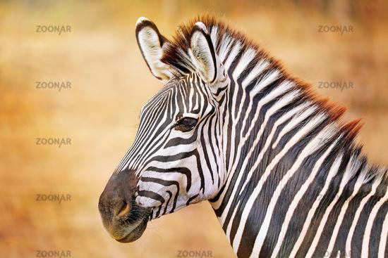 Zebra, Steppenzebra, South Luangwa Nationalpark, Sambia, (Equus quagga) | Plains Zebra, South Luangwa National Park, Zambia, (Equus quagga)