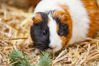 Close up of red guinea pig