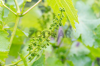 Grape flower buds, baby grapes. Close-up of flowering grape vines, grapes bloom during rainy summer day. Grape seedlings on a vine, small flower buds before they become small fruit grapes.