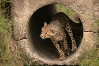 Cheetah cub runs through pipe towards grass