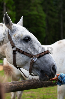 White Lipizzan Horse fed by young girl, unrecognizable