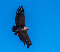 Andean condor, national symbol of Peru