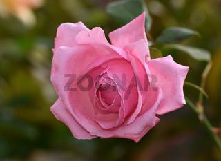 Rose, rosa, Blüte
