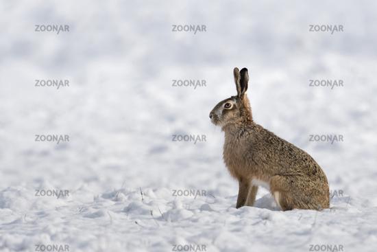 im Schnee... Feldhase *Lepus europaeus*, auf einem Acker sitzend