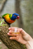 Woman feeding sweet nectar to Colourful parrot Rainbow