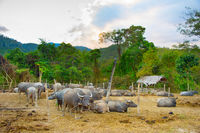 Herd of domestic buffalo Thailand
