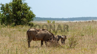 Warthog with her family grazing