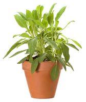 Salbeipflanze im Topf freigestellt