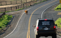 A Cow Stops Traffice Loose on the Highway Outside Ranch