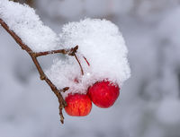 Ripe apples covered with snow