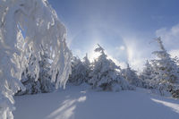 Snow covered coniferous trees with halo and sun in winter