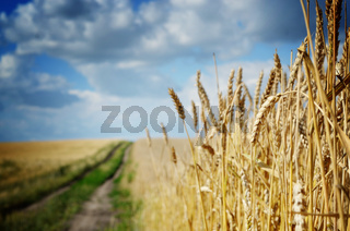 Wheat field under cloudy blue sky in Ukraine