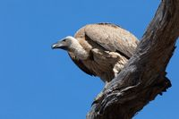 White backed vulture on tree, Botswana