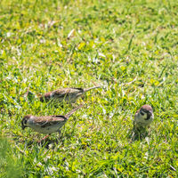 Sparrows looking for food in the grass