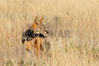 black-backed jackal Namibia, africa safari wildlife