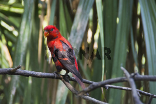 Red Parakeet perched on tree branch, close view, Indonesia