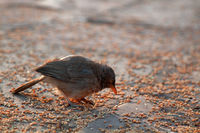 Jungle Babbler feeds on grain placers