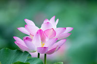 lotus flower blooms