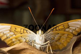 Powdered Baron, Euthalia sp, Nymphalidae, Trishna, Tripura