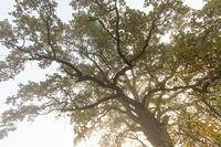 Alte Eiche, old oak
