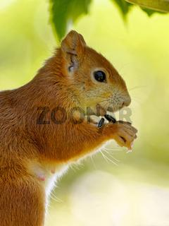 Eichhörnchen frisst Vogelfutter