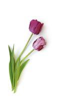 Tulpen auf weißem Hintergrund