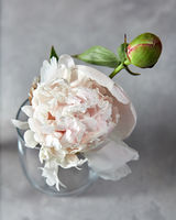 Fresh white flower peony with bud in droplets of water at a glass vase on a gray stone background.
