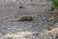 Javan mongoose (Herpestes javanicus) Big Island Hawaii