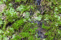 green lichen and moss on old trunk of birch tree