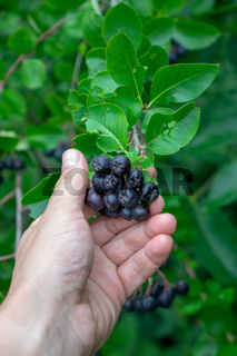 A man's hand holds a bunch of berries of chokeberry on a branch in the garden