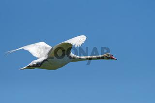Höckerschwan fliegend