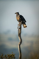 African crowned eagle perches on long stump