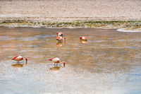 Flock of James Flamingos feeding in the Canapa Lake