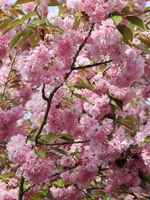 Blühender Zweig der Japanischen Kirsche, Prunus serrulata