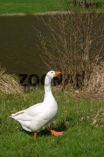 Weiße Hausgans (Anser anser formes domestica)