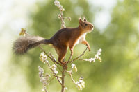 red squirrel is reaching on a willow branch