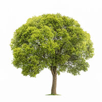 beautiful tree isolated