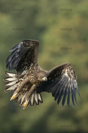 entschlossen... Seeadler * Haliaeetus albicilla * in kraftvollem Flug