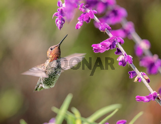 Anna's Hummingbird in Flight with Purple Flowers