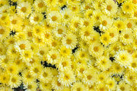 Natural floral background with Chrysanthemum flowers