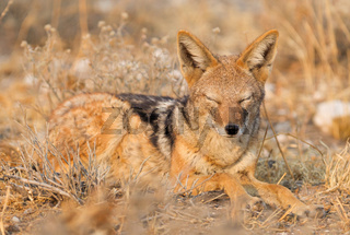 Black backed jackal (Canis mesomelas) in the morning sun, Kalahari