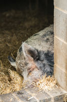 Pig sleeping in the barn