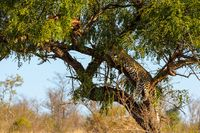 Leopard in tree resting next to the remains of his kill