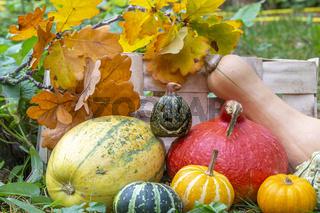 Kürbisse mit Kürbislaterne zu Halloween im Garten