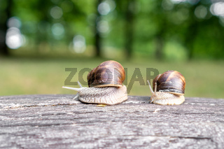 Two snails crawling on old fallen tree