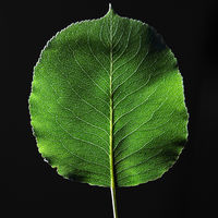 Closeup of a green leaf with a natural pattern of veins on a black background with copy space. Top view